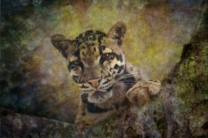 Interest - Clouded Leopard by hk-passey