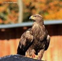 Steinadler / Golden Eagle 1 by bluesgrass