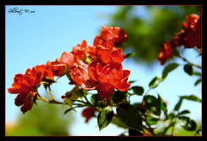 Red mini roses by ShlomitMessica