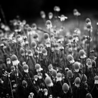 Sleeping Black Daisies by YuriSmetanin