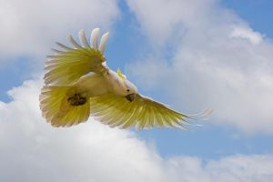 Sulphur Crested Cockatoo 120 by chezem