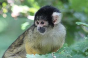 Squirrel monkey by RbeccaTheWanderer