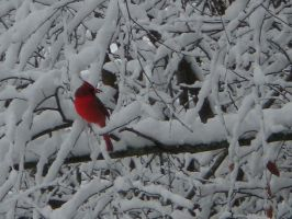 Cardinal in the snow by dancingmelons97