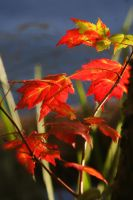 Red Leaves by tidesend