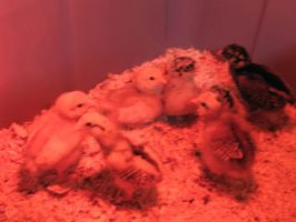 BABY CHICKS: REDLIGHT 2 by SquirtBox