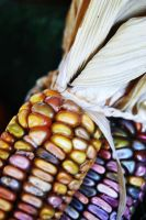 Indian Corn by ashleysmithphoto