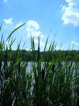 Lake Side Cat Tails 2 by PridesCrossing