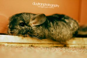 Chilly Chinchilla Chillin by justduy
