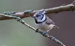 The Crested Tit 2 by one-with-dark