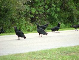 Black Vultures 045 by TheGreatWiseAss