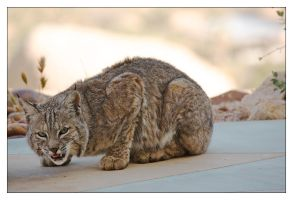 Bobcat by rugbymouth