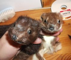 Mink and Stoat for Fossilizedmouse 2 by EternalEmporium