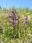 Orobanche sp. by NeddyPatches