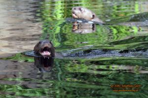 110810 Giant Otters 1 by InsaneGelfling
