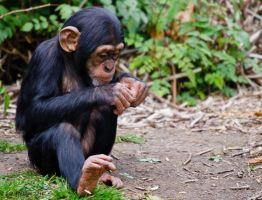 Young Chimp by Red-Smurfette