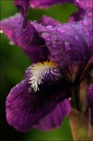 purple rain by kayaksailor