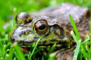 Leopard Frog by DuffyGraham