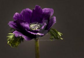 Anenome by Stolte33