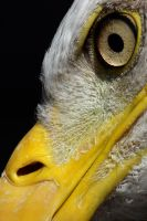 Bald Eagle Face close up by cycoze