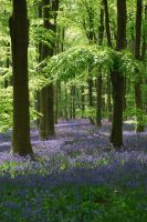 bluebell woods by Rusticway