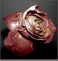 Leather Rose by phc