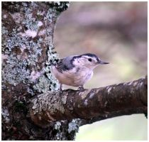 White-Breasted Nuthatch by bensinn