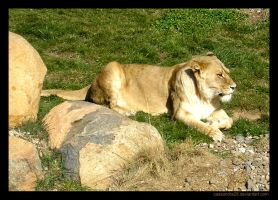 The Aloof Lioness by Cassandra28