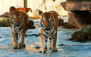 Determined Tigers by PictureByPali