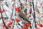 Bohemian Waxwing by JestePhotography