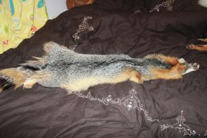 FOR SALE: Grey Gray Fox Pelt by romancer