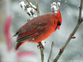 Cardinal in snowstorm by Lou-in-Canada
