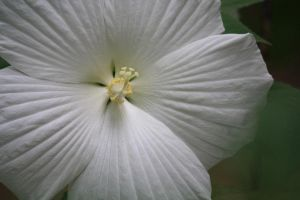 WHITE HIBISCUS I by zraclooc