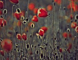 Poppy Field by marjol3in1977