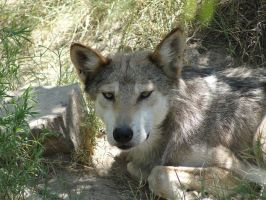 LD August 14: Mexican Wolf 26 by FamilyCanidae