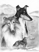 Collie Trio by Annushkathesetter