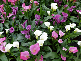Field of calla lillies by Mogrianne