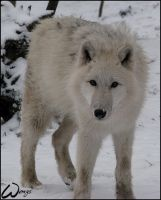 Arctic wolf cub survivor by woxys