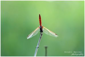 Dragonfly by FromSleepyHollow