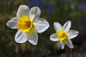 Daffodils by perost