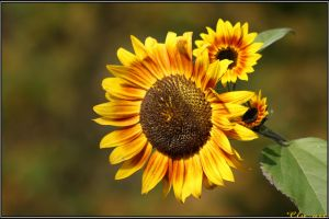 Last Sunflower by Clu-art