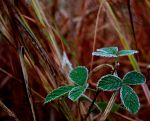 Frost: Blackberry Leaves 2 by DreamingDragonDesign