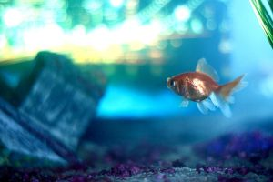 Poisson rouge by Adripics