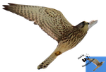 Cut-out stock PNG 132 - flying free kestrel by Momotte2stocks