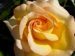 Yellow rose by s-i-y-a-n-a