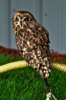 another short-eared owl by pagan-poetess