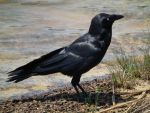 Manly crow by BrendanR85