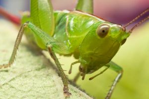Katydid by ribbonworm