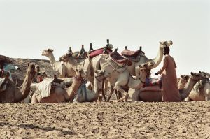 Camels in Egypt by Kagedfish