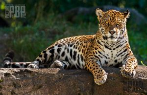 Female Jaguar by PictureByPali