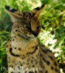 .:The Coy Serval:. by LSouthern